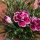 鉢植えカーネーションを長持ちさせる方法!蕾も咲かせて来年も楽しむには?